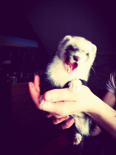 My Freya :-) Ferretlove Ferrets  Freyatheferret