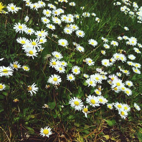 Flower Daisy Pretty