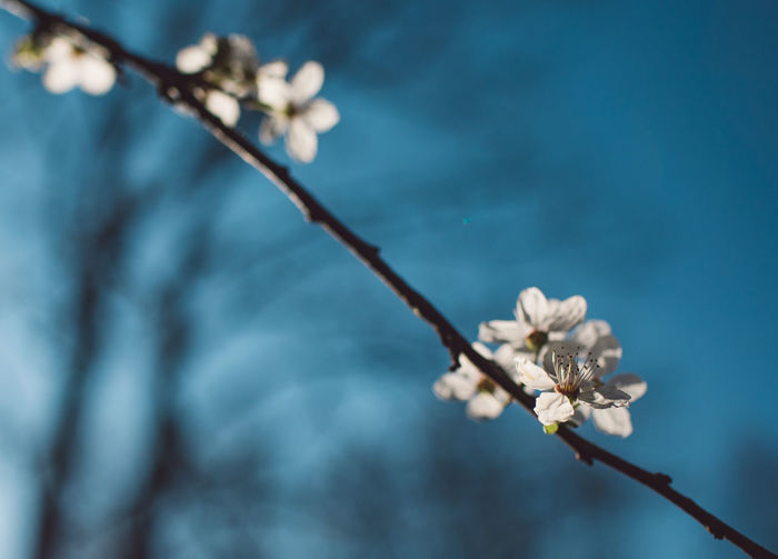 Plant Flower Flowering Plant Beauty In Nature Growth Fragility Vulnerability  Focus On Foreground Tree Nature Branch Freshness Close-up No People Twig Blossom White Color Springtime Day Selective Focus Outdoors Plum Blossom Pollen Flower Head Cherry Blossom Springtime Decadence