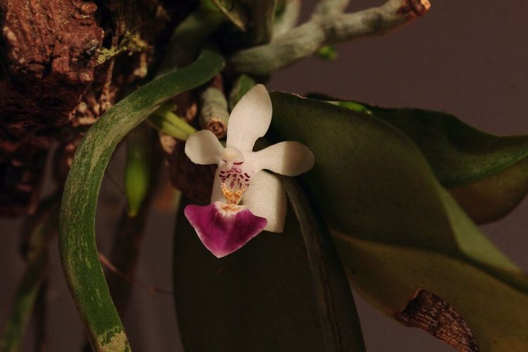 phalaenopsis parishii Phalaenopsis Parishii orchid Orchid Relaxing