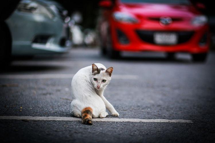 Animal Themes Car Crime Scene Day Dog Domestic Animals Land Vehicle Mammal No People One Animal Outdoors Pets Road Street Transportation