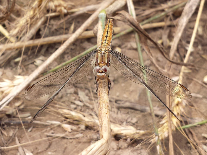 Orthetrum Brunneum - Serchio River Arthropoda Beauty In Nature Close-up Dragonfly Nature Insects Dragonfly Series Dragonfly💛 Hexapoda Insect Insecta Libellulidae Nature Odonata Orthetrum Orthetrum_bruneum Outdoors