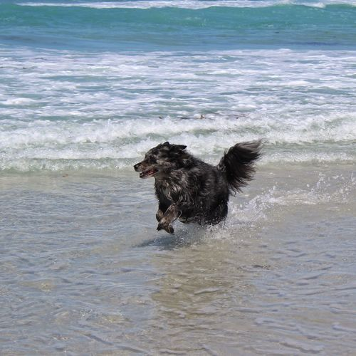 Beach Boy 3 Dog Pets One Animal Running Sea Beach Animal Themes Motion Water Domestic Animals Sticking Out Tongue Eye4photography  Femalephotographerofthemonth Tadaa Community Outdoors Border Collie Day Nature No People Wave Mammal