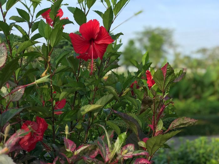 Plant Growth Beauty In Nature Flowering Plant Flower Freshness Vulnerability  Fragility Green Color Focus On Foreground Red Nature Close-up Plant Part Leaf Day Petal Flower Head Inflorescence No People