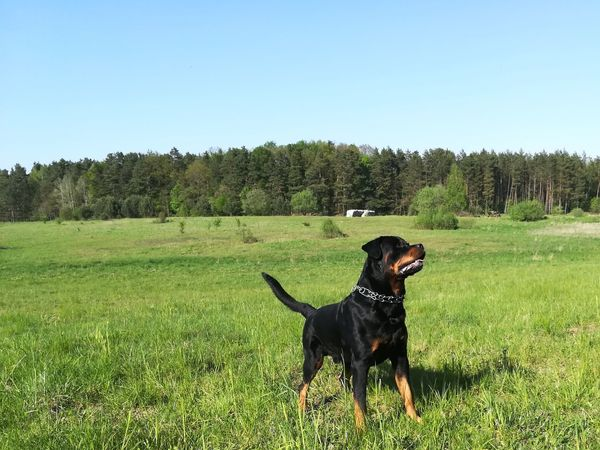 "My ""little"" love 😍 Dog Green Color No People Outdoors Sky Nature Forest Trees Vigilance  Rottweiler Day Grass Domestic Animals"