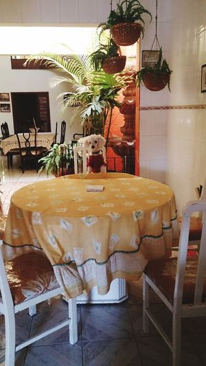 Chair Table Kitchen Poodle Dog Domestic Animals Pet Clothing Domestic Life Ocotlán Jalisco, México EyeEmNewHere Waiting For The Food BYOPaper! Live For The Story Place Of Heart Pet Portraits