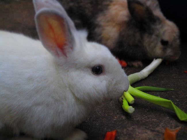 Animal Themes Close-up Day Domestic Animals Indoors  Mammal No People Pets Rabbit Rabbit - Animal Rabbits กระต่าย
