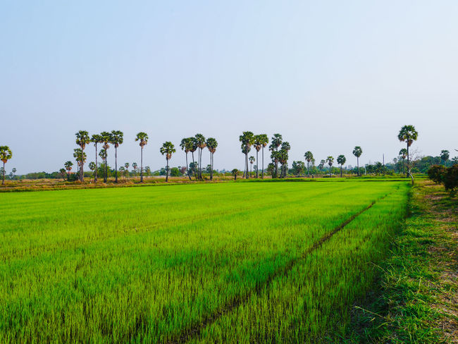 Agriculture Beauty In Nature Cereal Plant Clear Sky Crop  Cultivated Land Day Farm Field Grass Green Color Growth Landscape Nature No People Outdoors Rice - Cereal Plant Rice Paddy Rural Scene Scenics Sky Tranquil Scene Tranquility Tree