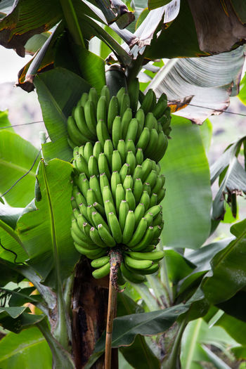 unripe bananas on a tree   daylight photography Food And Drink Growth Healthy Eating Green Color Food Fruit Plant Leaf Tree Banana Tree Plant Part Banana Agriculture No People Plantation Outdoors Unripe Nature
