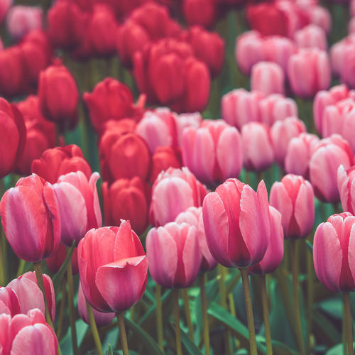 Tulips Flowers Red Pink Spring Field Europe Netherlands Seasons Holland Plant Agriculture Rural Dutch Culture Floral Scenics Landscape European  Bright Summer Growth Background Nature Botany Perspective Bloom Nobody Sunlight Diminishing Countryside Farm Colorful Vanishing Scene Traditional Ground Row Vibrant Mixed Green Filtered Toned