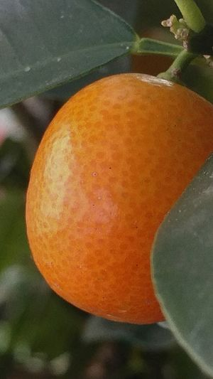 Kumquat Fruit Photography Freshness Macro Photography Orange Colour Citrus  Shapeandtexture
