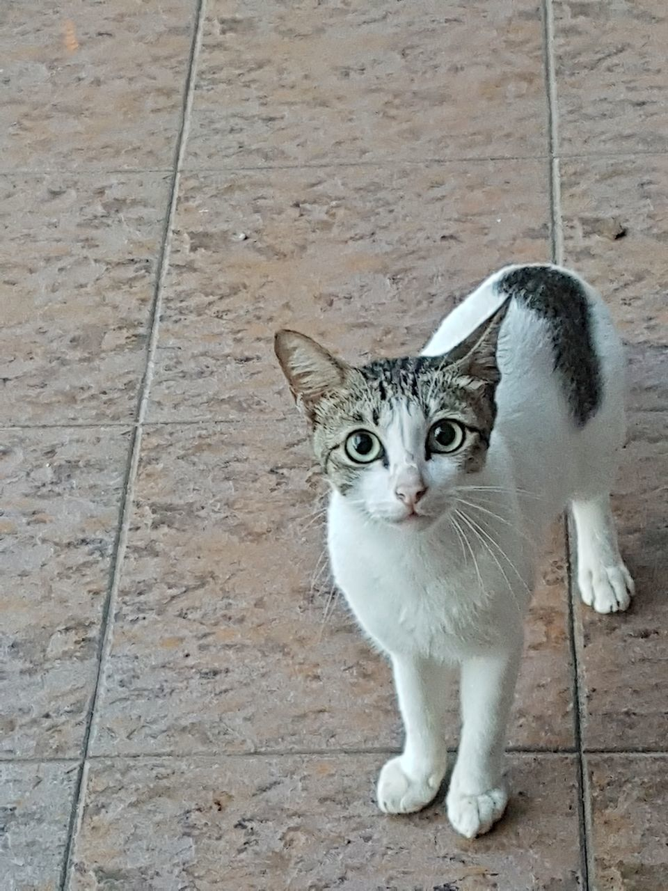 domestic cat, pets, one animal, looking at camera, animal themes, portrait, mammal, domestic animals, feline, sitting, no people, day, outdoors