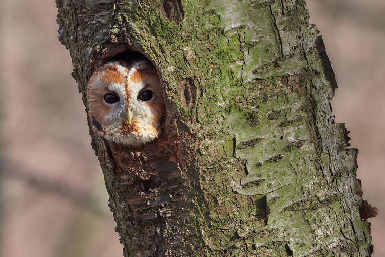 Close-up portrait of owl in tree trunk