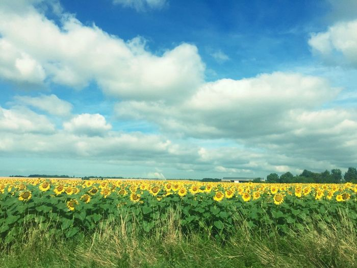 Sunflower Countryside France