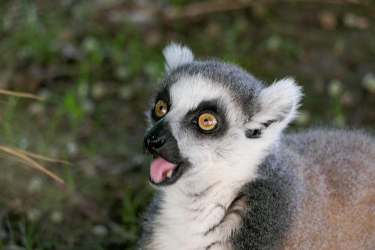 Lemur Pets