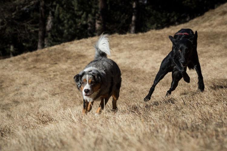Australianshepherd Black Dog Dogs Mountains Dogs Playing Together Dogs Running