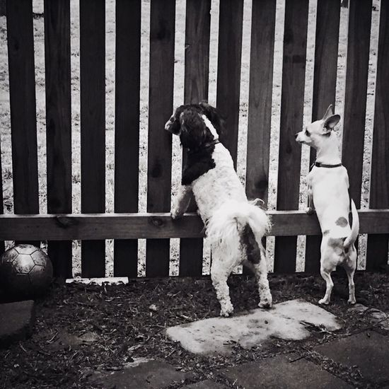 Dogs leaning on fence in back yard