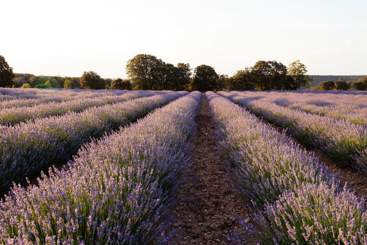 Lavander fields at sunset Agriculture Alcarria Countryside Fields Guadalajara Landscape Lavender Lavender Colored Lavender Field Nature No People Outdoors Parfum Perfume Plants Provence Purple Purple Flower Rural Rural Scene Scenic Scenics Summer Sunset Tree