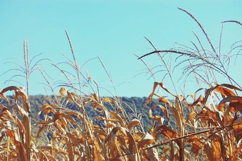 Nature Outdoors Fall Corn