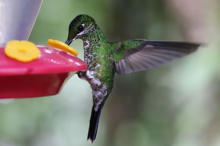 Green-crowned brilliant perching on bird feeder