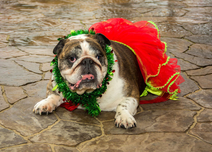 English Bulldog Wearing Red Tutu On Footpath