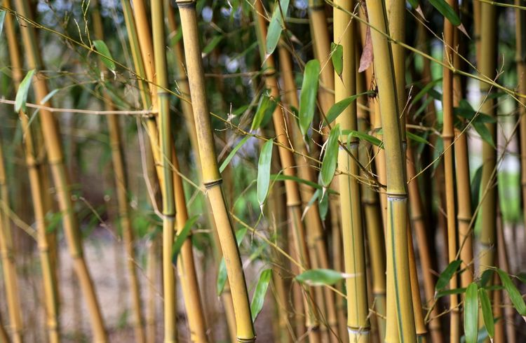 Spa Bamboo Canes Bamboo Leaf Zen Bamboo Forest Fragility Branch Bamboo Leaves Beauty In Nature Bamboo - Plant Nature Bamboo Tree... Bamboo Tree Bamboo Trees Plant Bamboo Shoot Bamboo Groves Freshness Growth Bamboo - Material Landscape