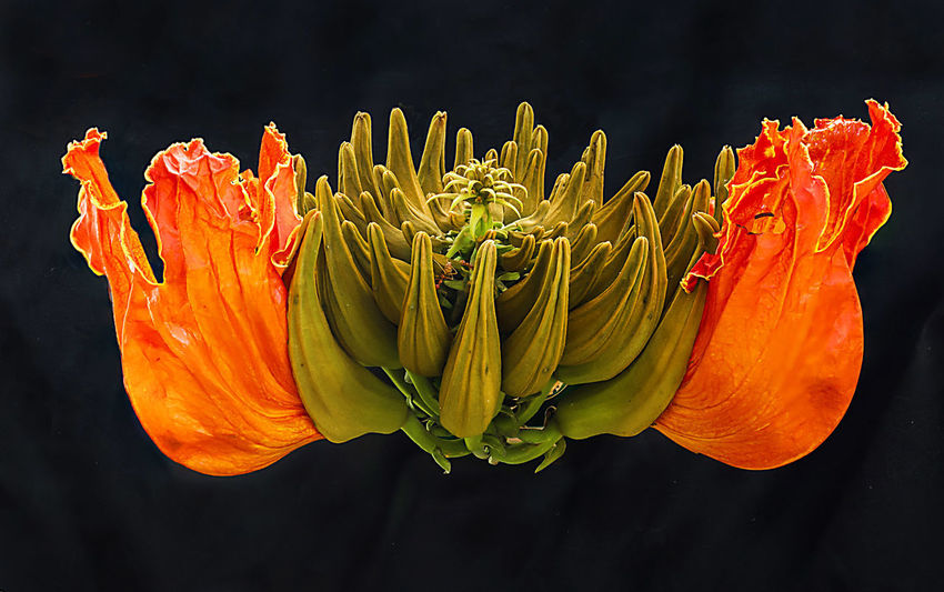 Flower Flowering Plant Beauty In Nature Close-up Orange Color No People Nature Yellow Black Background Plant Studio Shot Macrophotography Eyeemphotography Eye4photography L Focus Stacking African Tulip Tree Flower Head