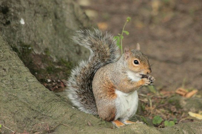 Remember tuffty Animals Nature Grey Squirrel
