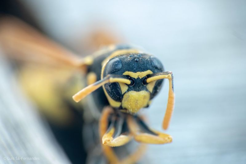 Wasp on table Portugal Alcacer Do Sal One Animal Animal Themes Invertebrate Animals In The Wild Animal Insect Animal Wildlife