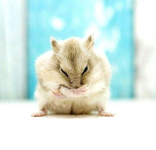 Pet Hamster 💞