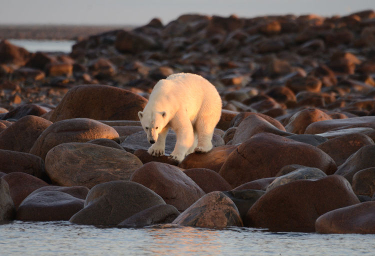 Polar bear standing on rocks at beach