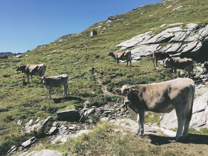 Nature Photography Photography Nature Cows Alps