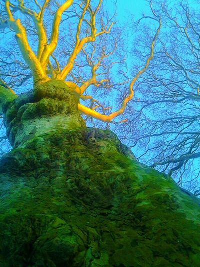 Big Love Treepower 4-500 Years Sycamores Lemon Lime By Motorola Old Trees Dutch Landscape