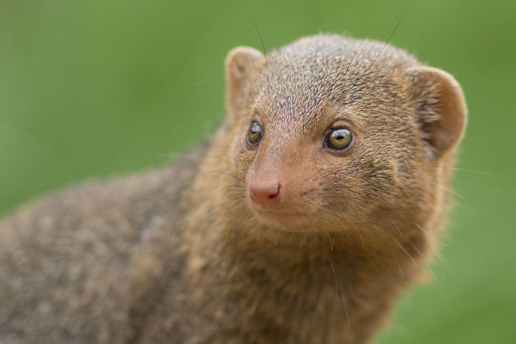 Close-Up Of Mongoose Outdoors