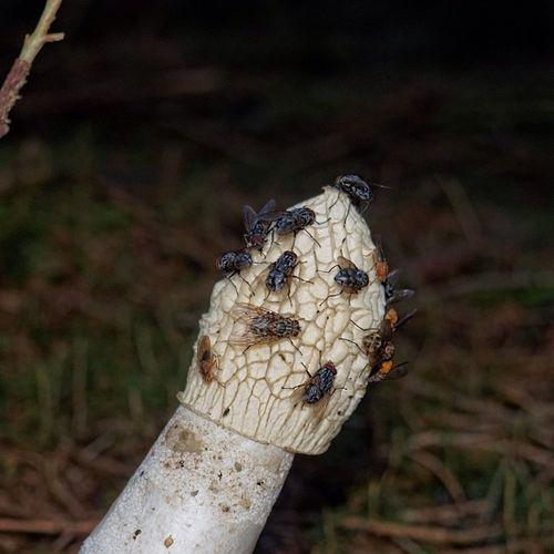 It's not beautiful but nature nonetheless :) phallus impudicus Stinkmorchel Stinkhorn Flies Fliegen insekten insects