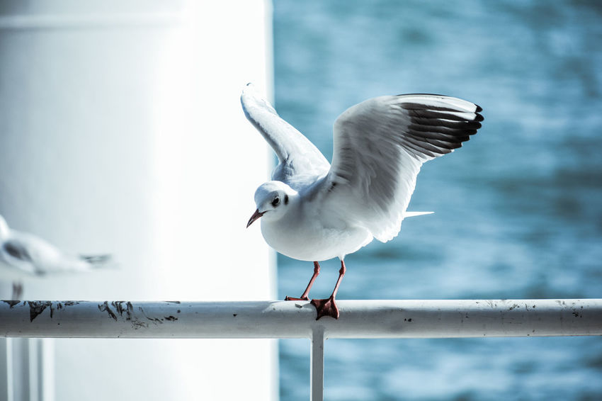 Animal Animal Themes Vertebrate Bird Animals In The Wild Animal Wildlife One Animal Seagull Railing Focus On Foreground Perching Day Spread Wings Nature No People Outdoors Sunlight Water Sea