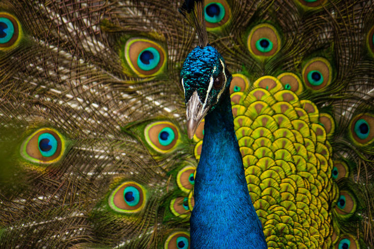 EyeEmNewHere Animal Head  Animal Themes Animal Wildlife Animals In The Wild Beak Beauty Beauty In Nature Bird Blue Close-up Day Fanned Out Feather  Full Frame Multi Colored Nature No People One Animal Outdoors Peacock Peacock Feather Portrait Vanity