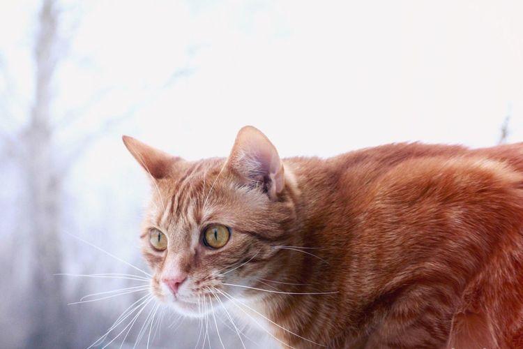 Winter Redcat