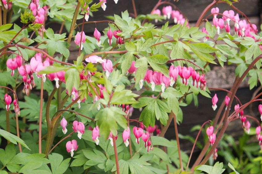 Bleeding Heart  Bleedinghearts Pink Color Plant Flower Leaf Growth Nature Outdoors Beauty In Nature Green Color No People Day Multi Colored Close-up Freshness Flower Head Fragility