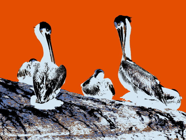 Pelicans displaying to each other Animal Behavior Animal Themes Animals In The Wild Birds Manipulated Pelicans Social Wildlife