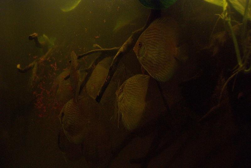 Amazon Amazon River Aqua Aquarium Aquarium Life Discus Discus Fish Heckel Heckel Discus Wildlife & Nature Wildlife Photography