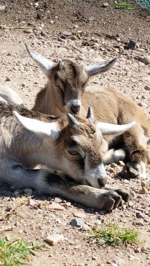 Animal Themes Domestic Animals Outdoors Sunlight Close-up Nubian X Alpine Goatlife Samsung Galaxy S6 Goats Head Babygoat Goatsarecool Goat Goatslife Goatworthy Goats Eyemgoats Goats On The Farm Goatkid Day