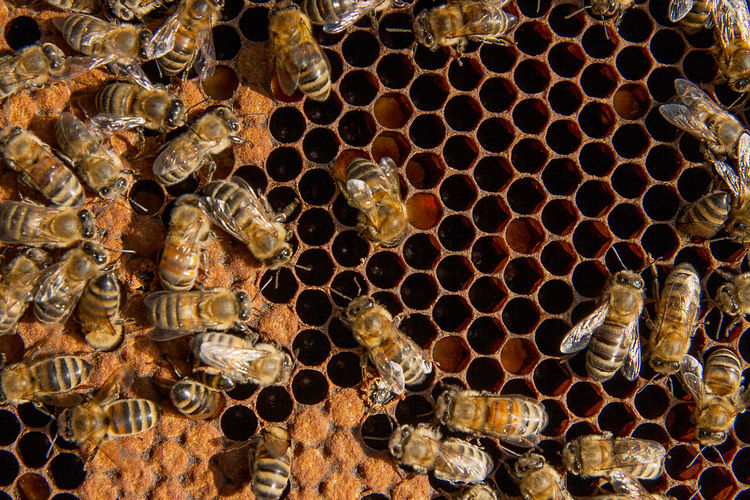 Honeycomb Bee Beehive APIculture Insect Animal Themes Animal Wildlife Invertebrate Animals In The Wild Animal Close-up Beauty In Nature Full Frame No People Honey Bee Geometric Shape Pattern Backgrounds Group Of Animals Hexagon