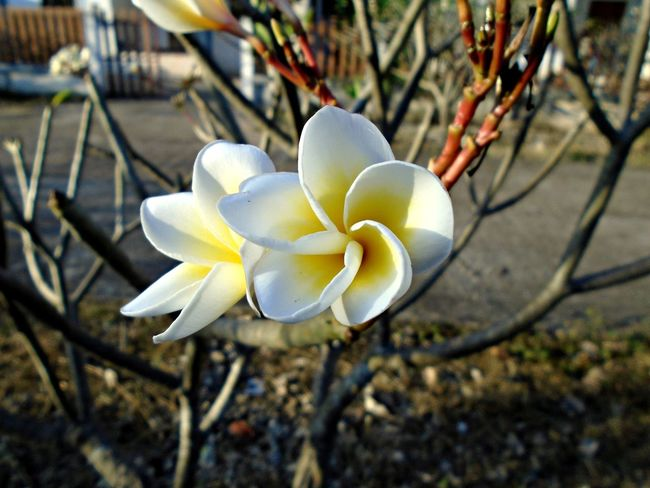 Plumeria Beauty In Nature Blooming Close-up Day Flower Flower Head Focus On Foreground Fragility Frangipani Freshness Growth Nature No People Outdoors Petal Plumeria Blossoms Plumeria Flower Plumeria Flowers White Color White Flower