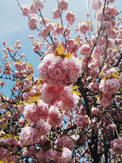Flower Blossom Pink Color Fragility Beauty In Nature Growth Springtime Branch Tree Nature Freshness No People Petal Day Backgrounds Outdoors Low Angle View Flower Head Sky Close-up