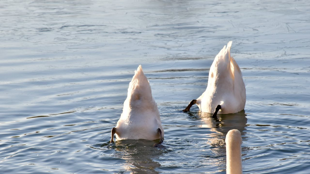 animal themes, animals in the wild, water, lake, swimming, swan, white color, one animal, animal wildlife, no people, nature, bird, day, waterfront, water bird, outdoors, spread wings, mammal