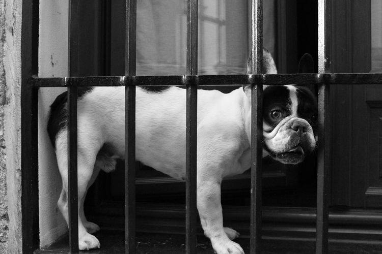 Animal Themes Balck And White Bulldog Córdoba Dog Jail Pets Window