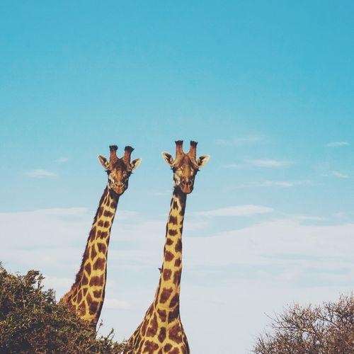 Giraffes in forest against sky