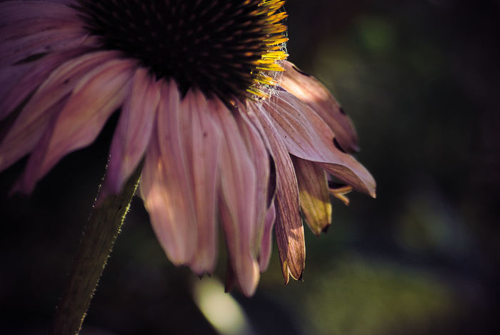 Beauty In Nature Close-up Coneflower Day Echinacea Purpurea Flower Flower Head Flowering Plant Focus On Foreground Fragility Freshness Growth Inflorescence Nature No People Outdoors Petal Plant Pollen Selective Focus Vulnerability  Wilted Plant