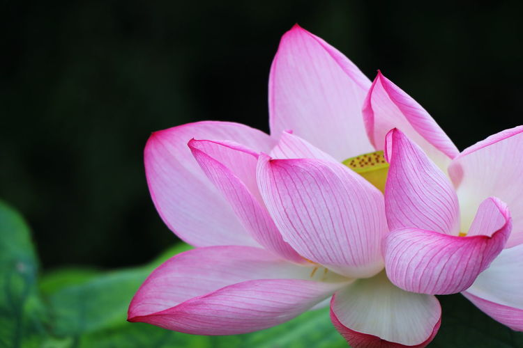 Close-up of pink lily